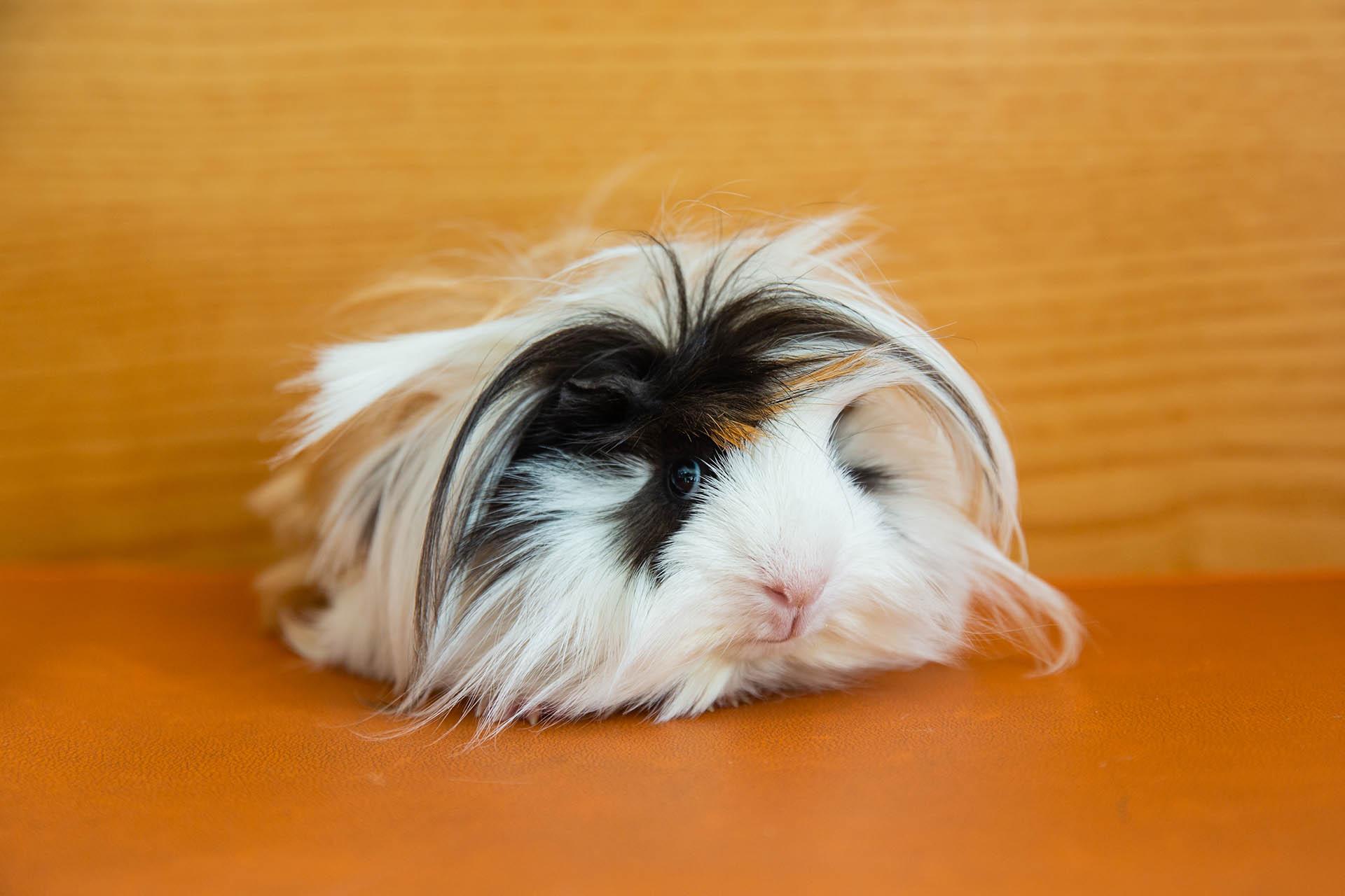 Basic Guinea Pig Care