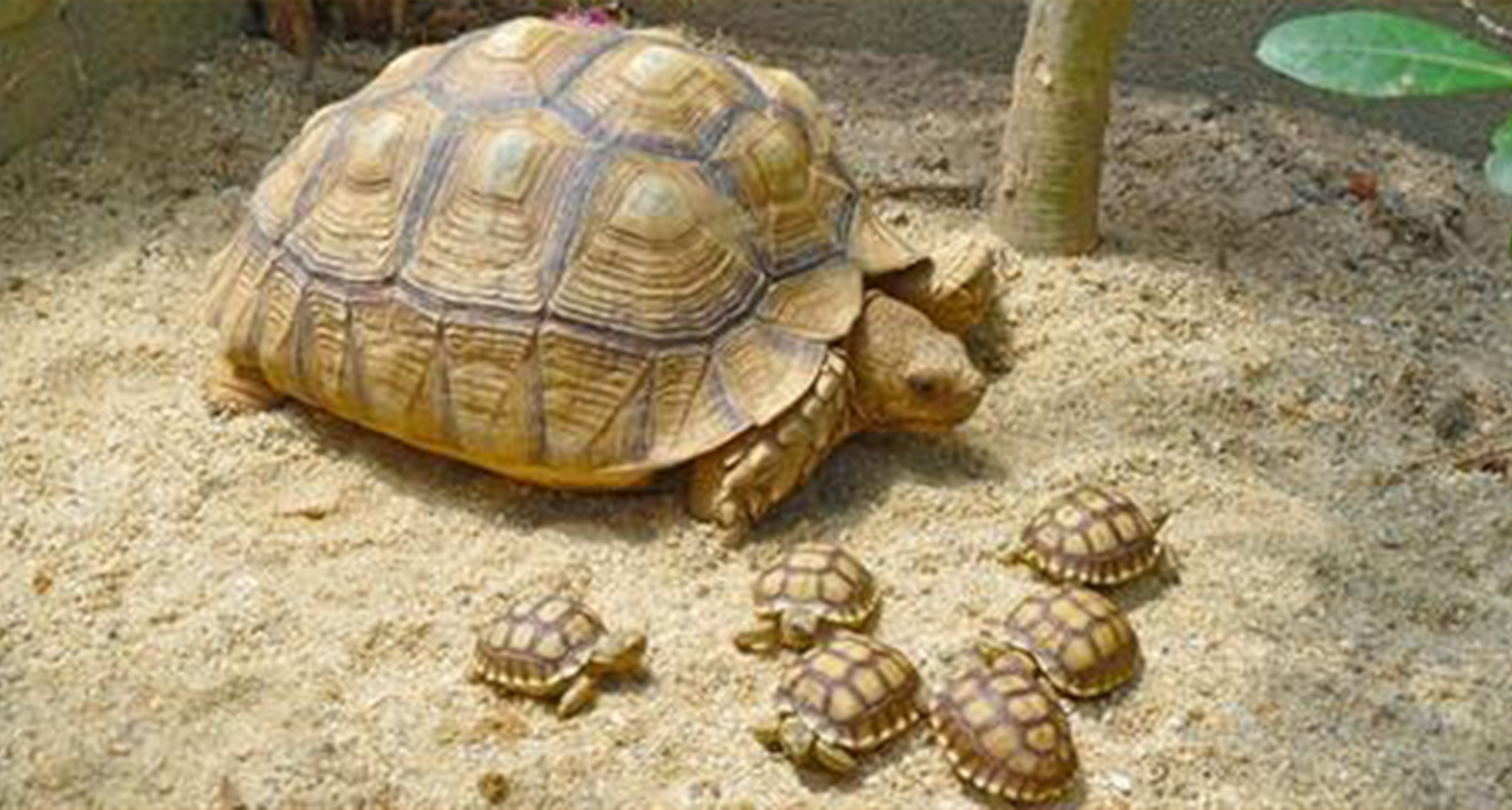 Care sheet for African Spurred Tortoise, Geochelone Sulcata