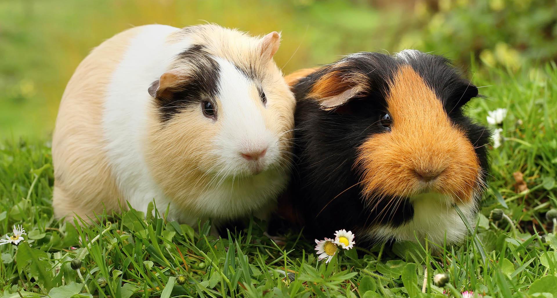 Guinea Pig's Pregnancy