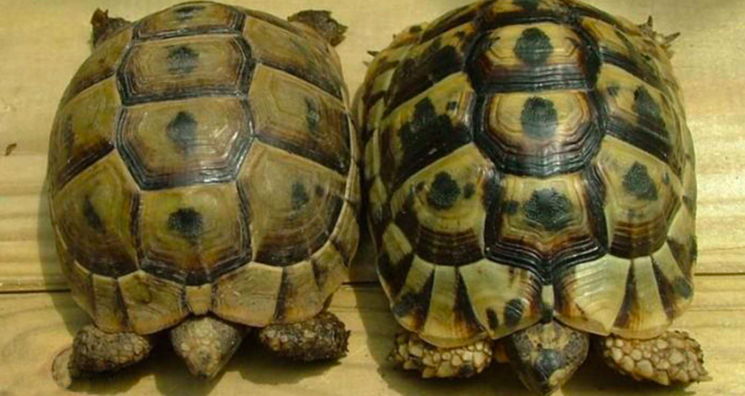 Care Sheet for Mediterranean Spur Thigh Tortoise